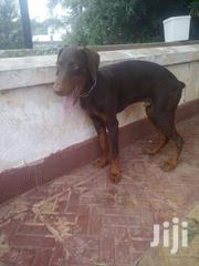 DOBERMAN For Sale. Contact Me For A Cool Price | Dogs & Puppies for sale in Greater Accra, Tesano