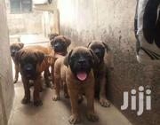 Bull Mastiff Puppies | Dogs & Puppies for sale in Greater Accra, Nungua East