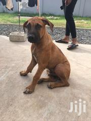 Boerboel | Dogs & Puppies for sale in Greater Accra, Tema Metropolitan