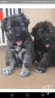 Caucasian Shepherd | Dogs & Puppies for sale in Greater Accra, Dansoman