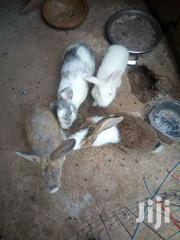 Rabbits Reduced To Clear | Livestock & Poultry for sale in Greater Accra, Alajo