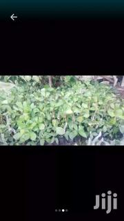 Grafted And Non Grafted Cashew Seedlings For Sale | Feeds, Supplements & Seeds for sale in Northern Region, Tamale Municipal