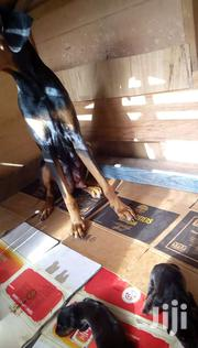 Pure Breed Doberman Pincher | Dogs & Puppies for sale in Greater Accra, Nungua East