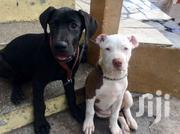 Pedigree Female Great Dane | Dogs & Puppies for sale in Ashanti, Kumasi Metropolitan