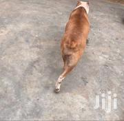 Female Pitbull (Pedigree ) | Dogs & Puppies for sale in Greater Accra, Odorkor