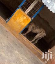Bull Mastiff (Cross Breed ) | Dogs & Puppies for sale in Greater Accra, Odorkor