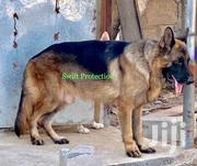 For Stud Services Or Crossing | Dogs & Puppies for sale in Greater Accra, Dansoman