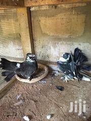 Pigeon (Indian Fantail | Birds for sale in Greater Accra, Adenta Municipal