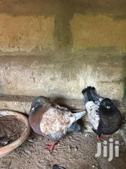Pigeon | Birds for sale in Greater Accra, Adenta Municipal