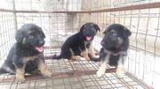Pedigree Male And Female German Shepherd Puppies | Dogs & Puppies for sale in Greater Accra, Airport Residential Area