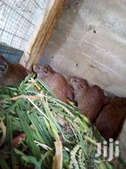 Live Grasscutters For Sale | Feeds, Supplements & Seeds for sale in Greater Accra, Adenta Municipal