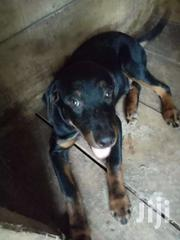 Bouldog | Dogs & Puppies for sale in Northern Region, East Mamprusi