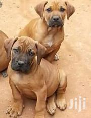 Boerboel Puppies For Sale Highly Negotiable | Dogs & Puppies for sale in Greater Accra, Teshie-Nungua Estates