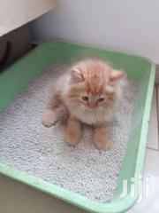 Foreign Cat And Kittens Are In | Cats & Kittens for sale in Greater Accra, Adenta Municipal