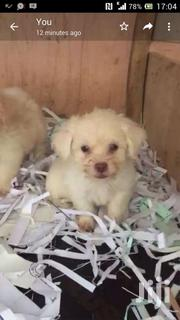 Maltese For Crossing | Dogs & Puppies for sale in Greater Accra, Osu