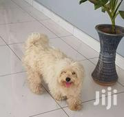 White Male Poodle For Crossing | Dogs & Puppies for sale in Greater Accra, Achimota