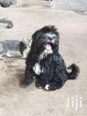 4 Months Old Black Female Poddle For Sale | Dogs & Puppies for sale in Ashanti, Kumasi Metropolitan