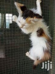 Fluffy Kitten | Cats & Kittens for sale in Greater Accra, Ga East Municipal