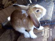 Pregnant  Rabbit | Livestock & Poultry for sale in Greater Accra, Adenta Municipal