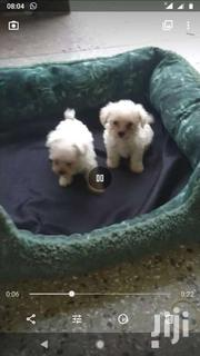 Teacup Maltese Puppies For Sale | Dogs & Puppies for sale in Greater Accra, East Legon (Okponglo)