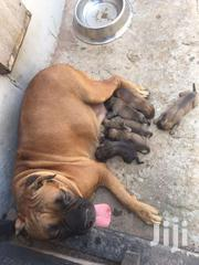 Pure Breed Bull Mastiff Puppies For Sale | Dogs & Puppies for sale in Greater Accra, Kwashieman