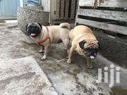 Male Pug Available For Crossing | Dogs & Puppies for sale in Greater Accra, Tema Metropolitan