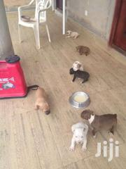 Bull Dogs Puppies | Dogs & Puppies for sale in Western Region, Shama Ahanta East Metropolitan