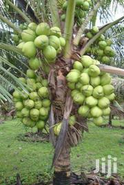 Invest In Malaysian Dwarf Coconut. | Livestock & Poultry for sale in Ashanti, Kwabre