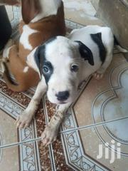 Pitbull Dog | Dogs & Puppies for sale in Greater Accra, Akweteyman