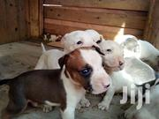 Dogs Puppies | Dogs & Puppies for sale in Central Region, Awutu-Senya