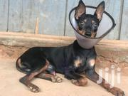 Chihuahua | Pet's Accessories for sale in Eastern Region, Asuogyaman