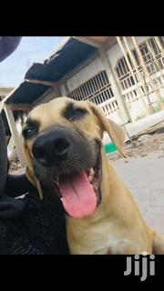 Female Boerboel 6months | Dogs & Puppies for sale in Greater Accra, Dansoman