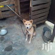 Local Dog | Dogs & Puppies for sale in Greater Accra, East Legon