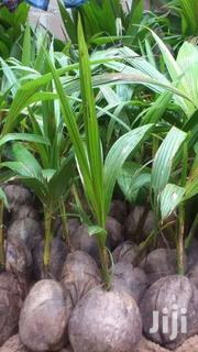 Dwarf Coconut Seedlings For Sale | Feeds, Supplements & Seeds for sale in Greater Accra, Achimota