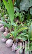 Dwarf Coconut Seedlings For Sale | Feeds, Supplements & Seeds for sale in Achimota, Greater Accra, Nigeria