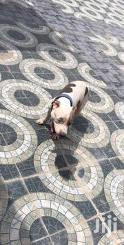 Pure Terrier Pit Male For Sale | Dogs & Puppies for sale in Greater Accra, Ga West Municipal
