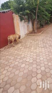 Solid Male Boerboel For Stud | Dogs & Puppies for sale in Greater Accra, Adenta Municipal