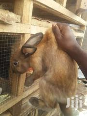 Rabbit | Livestock & Poultry for sale in Greater Accra, Ashaiman Municipal