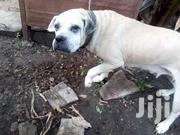 Bull Dog   Dogs & Puppies for sale in Greater Accra, Ashaiman Municipal