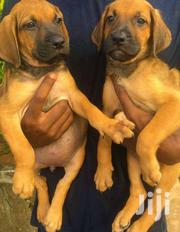 BOERBOELS | Dogs & Puppies for sale in Greater Accra, Dansoman
