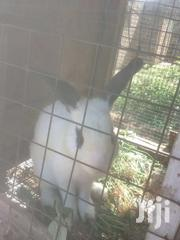 Rabbits For Sela | Livestock & Poultry for sale in Greater Accra, Teshie-Nungua Estates