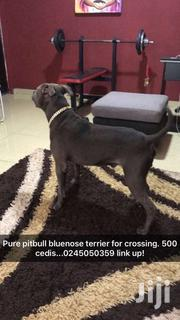 Pure Pitbull Bluenose For Crossing | Dogs & Puppies for sale in Greater Accra, Ga East Municipal