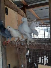Female Fantails | Other Animals for sale in Ashanti, Kumasi Metropolitan