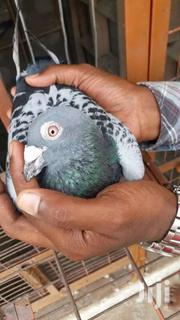 Pigeon | Birds for sale in Greater Accra, Teshie-Nungua Estates