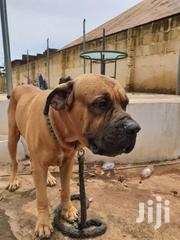 Bull Mastiff Boerboel For Crossing | Dogs & Puppies for sale in Greater Accra, Adenta Municipal