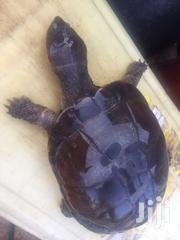 Turtle | Reptiles for sale in Greater Accra, Bubuashie