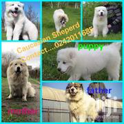 Pure Pedigree Caucasian Shepherd Puppy's | Dogs & Puppies for sale in Greater Accra, Asylum Down