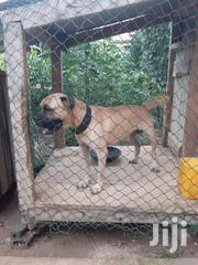 BOERBUL CROSSING   Dogs & Puppies for sale in Greater Accra, Mataheko
