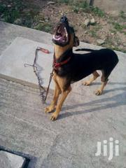One Year Old Aggressive Doberman  For Sell   Dogs & Puppies for sale in Central Region, Awutu-Senya