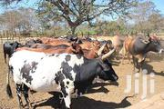 Big Cows For Sale | Livestock & Poultry for sale in Greater Accra, Accra Metropolitan